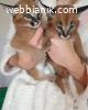 налични котета савана и каракал сервал на добра цена