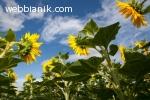 ПЛЕВЕНСКА  ОБЛАСТ купува  земеделска земя-0878343312!