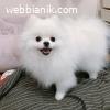 Регистрирани кученца Pomeranian от чиста порода