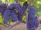 Продавам грозде - винени сортове - Мускат отонел,